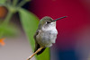 Hummingbirds : Captive and wild hummingbirds photographed in Arizona.