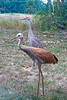 Sandhill Cranes : Photos of Sandhill cranes taken in Waupaca, Wisconsin.
