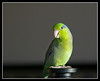 "Our parrotlet, Mr. Kiwi : Mr. Kiwi is our wonderful Pacific Parrotlet - the World's smallest true Parrot.  Imagine the attitude and spunk of an Amazon, in a body the size of a Parakeet!  As of 1/29/2008, he is 2.5 years old and has a vocabulary of 25+ words and probably another 10-20 unique sounds that he picked up from the human world.  Words and Phrases: Kiwi, scratch, stretch, green, Kiwi bird is green, No biting, Ouch, Wash, Would you like to clean your cage?, Good bird, Birdy, Soup, Drink, What do you think of your cage?, Beak, My name (I'm not telling you what that is :) , Kiss, and perhaps Toes.  The sounds he makes includes: the sound of us ""sniffing"" him - it's uncanny, the sound of the faucet running - again an amazing copy, the sound of a kiss, the sound of an iPod click, laughter, and a few other sounds that are too weird to describe!  There are many more things he says but does not yet wish to share with us as he is a closet talker - he talks much more when he does not know we are in the room and these sessions are at 2-3x normal human speed."